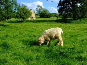 Chastleton House - sheep