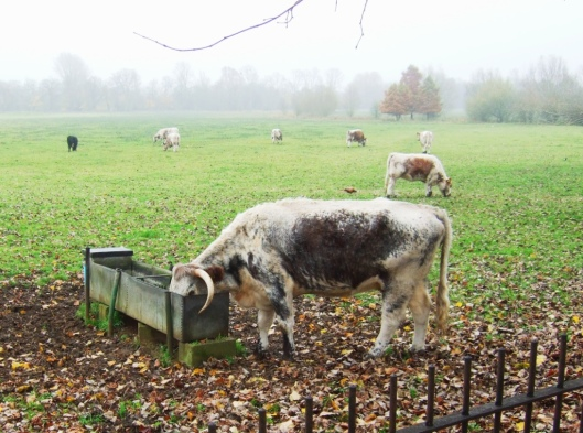Cow in Christ Church Meadow, Oxford