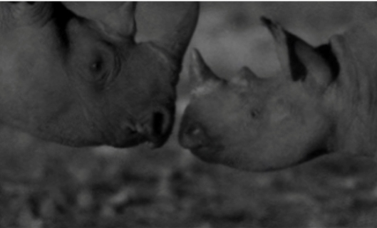 Black rhinos greeting one another at night