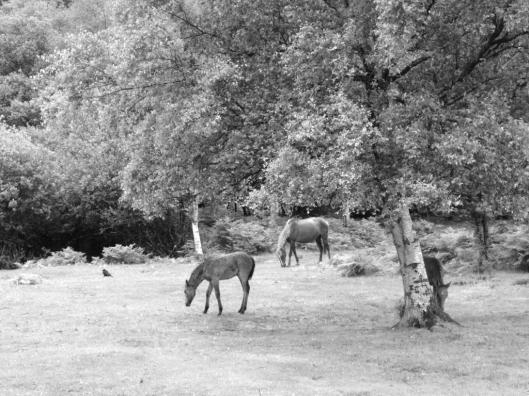 2016-06-28-new-forest-horses-006